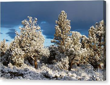Juniper Trees In Snow Canvas Print by Chris Scroggins