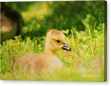 Just A Baby Canvas Print by Darren Fisher