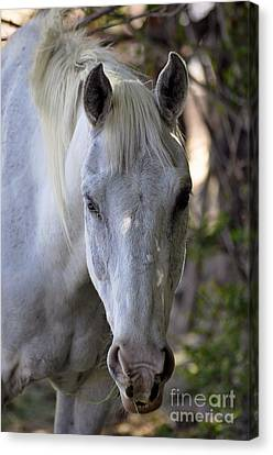 Just A Horse Canvas Print by Juls Adams