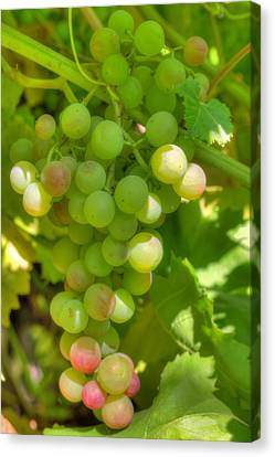 Just A Little More Time On The Vine Canvas Print by Heidi Smith