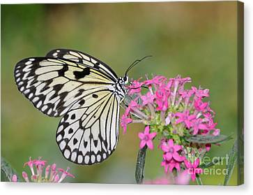Just A Sip - White Tree Nymph Canvas Print