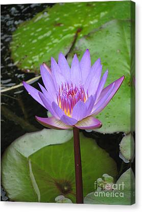 Just A Water Lily  Canvas Print