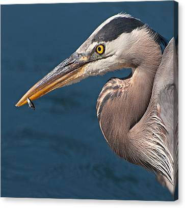Just An Appetizer For A Great Blue Heron Canvas Print by Kasandra Sproson