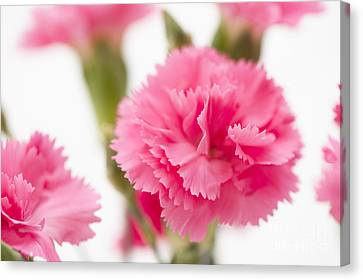 Close Focus Floral Canvas Print - Just Carnations by Anne Gilbert