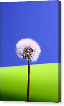 Canvas Print featuring the photograph Just Dandy by Paula Brown