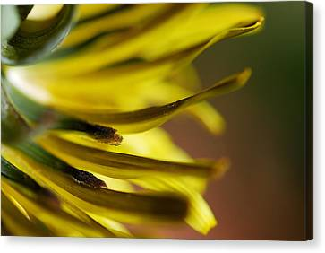 Canvas Print featuring the photograph Just Dandy by Wendy Wilton