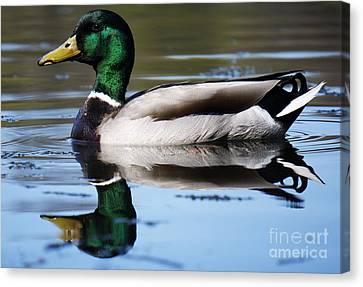 Canvas Print featuring the photograph Just Ducky. by Rafael Quirindongo