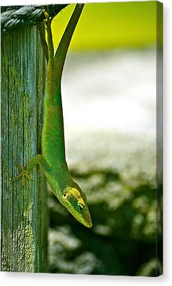 Just Hanging... Canvas Print