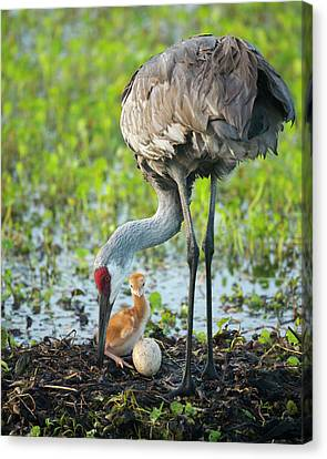 Just Hatched, Sandhill Crane Rotating Canvas Print by Maresa Pryor