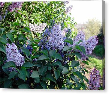 Just Lilac Canvas Print by Dorothy Berry-Lound