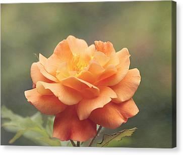 Just Peachy - Rose Canvas Print by Kim Hojnacki