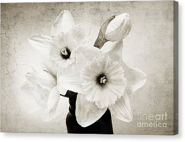 Just Plain Daffy 1 B W - Flora - Spring - Daffodil - Narcissus - Jonquil Canvas Print by Andee Design