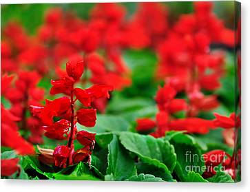 Just Red Canvas Print by Kaye Menner