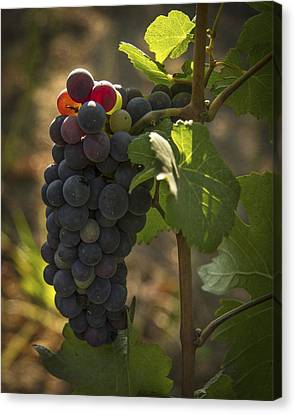 Vintner Canvas Print - Just Waking Up by Jean Noren