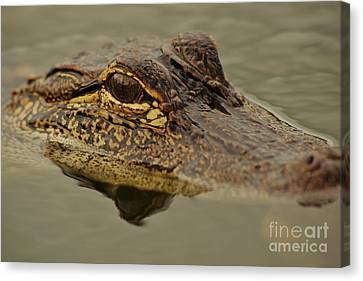 Juvenile Alligator Canvas Print by Lynda Dawson-Youngclaus