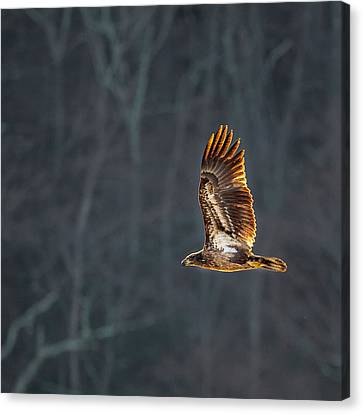 Eagle In Flight Canvas Print - Juvenile American Bald Eagle Square by Bill Wakeley