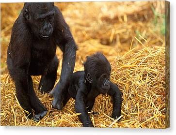 Gorilla Canvas Print - Juvenile And Baby Lowland Gorillas by Art Wolfe