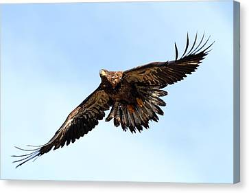 Juvenile Bald Eagle Canvas Print