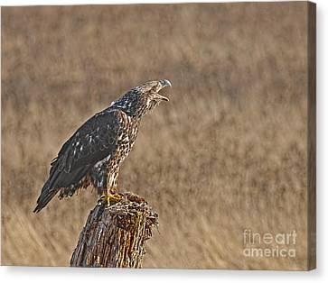 Juvenile Bald Eagle On Stump 2 Canvas Print by Sharon Talson