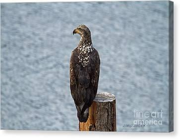 Juvenile Bald Eagle Canvas Print by Beve Brown-Clark Photography
