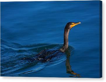 Juvenile Cormorant Swim Canvas Print by Karol Livote