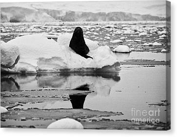 juvenile fur seal looking straight to camera floating on iceberg in Fournier Bay Antarctica Canvas Print by Joe Fox