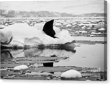 juvenile fur seal looking up pretending not to notice floating on iceberg in Fournier Bay Antarctica Canvas Print by Joe Fox