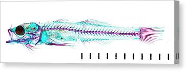 Juvenile Goby Canvas Print by Natural History Museum, London