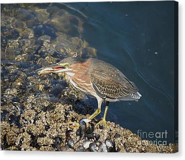 Canvas Print featuring the photograph Juvenile Green Heron by Gayle Swigart