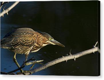 Juvenile Green Heron Canvas Print by Larry Bohlin