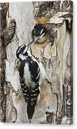 Juvenile Hairy Woodpecker Is Fed Canvas Print by Ray Bulson