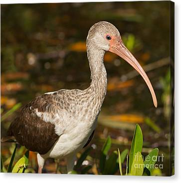 Jn Ding Darling National Wildlife Refuge Canvas Print - Juvenile Ibis In The Mangroves 2 by Natural Focal Point Photography