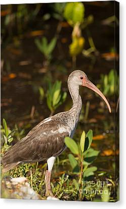 Jn Ding Darling National Wildlife Refuge Canvas Print - Juvenile Ibis In The Mangroves by Natural Focal Point Photography