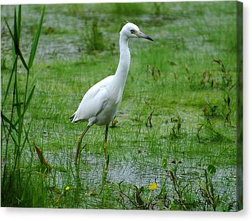 Juvenile Little Blue Heron In Search Of Food Canvas Print by Dan Williams