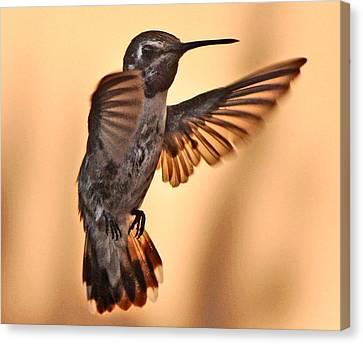Juvenile Male Anna's In Flight Canvas Print