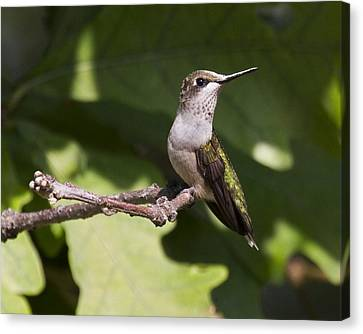 Juvenile Male On Perch Canvas Print by Eric Mace