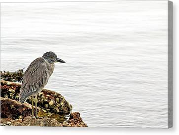 Juvenile Night Heron  Canvas Print by JC Findley