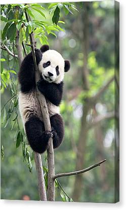 Juvenile Panda Climbing A Tree Canvas Print
