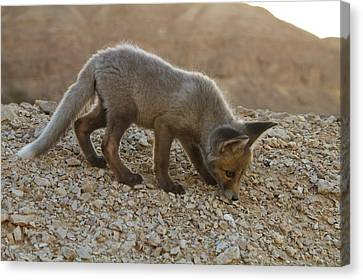 Juvenile Red Fox (vulpes Vulpes) Canvas Print