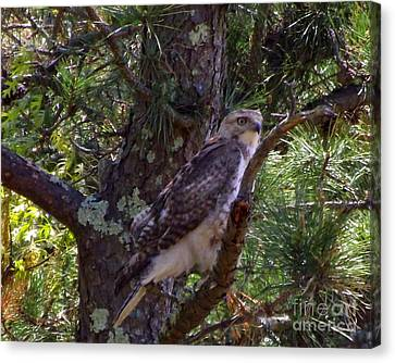 Juvenile Red-tailed Hawk Canvas Print by CapeScapes Fine Art Photography