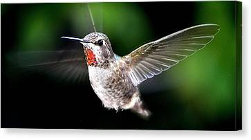 Juvenile Red Thoated Hummingbird Canvas Print