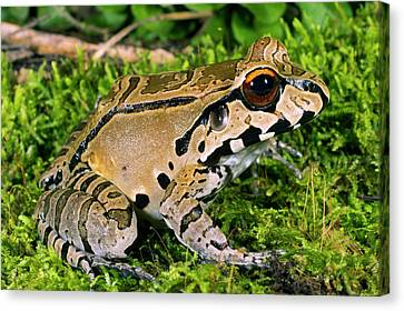 Juvenile Smoky Jungle Frog Canvas Print by Dr Morley Read