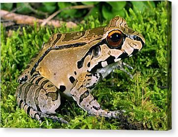 Anuran Canvas Print - Juvenile Smoky Jungle Frog by Dr Morley Read