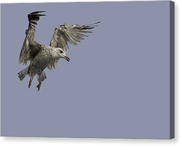 Flying Gull Canvas Print - Juvenille Herring Gull by Andy Astbury