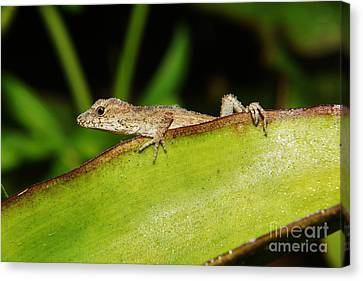 Juvie Brown Anole Canvas Print by Lynda awson-Youngclaus