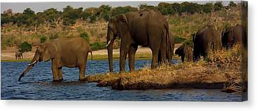 Canvas Print featuring the photograph Kalahari Elephants Preparing To Cross Chobe River by Amanda Stadther