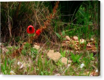 Kalanit Flower- Red Anemone - Series Iv Canvas Print