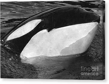 Kandu Orca Seattle Aquarium 1969 Pat Hathaway Photo Killer Whale Seattle Canvas Print by California Views Mr Pat Hathaway Archives