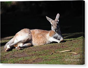 Kangaroo 5d27165 Canvas Print by Wingsdomain Art and Photography