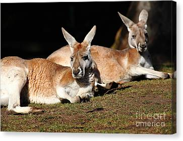 Kangaroo 5d27177 Canvas Print by Wingsdomain Art and Photography